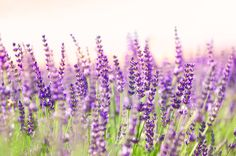 Lavender is a perennial in the mint family.