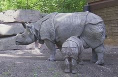 The Javan rhinoceros (Rhinoceros sondaicus) is the most endangered of the world's five rhinoceros species, with an estimated 40-60 animals remaining on the western tip of the Island of Java (Indonesia) in Ujung Kulon National Park. The last member of another tiny population in Vietnam's Cat Tien National Park was killed by poachers in 2011. The water- and swamp-loving Javan rhinoceros formerly ranged throughout Southeast Asia and Indonesia, but has been hunted to near-extinction for its…