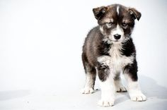 iditarod pup