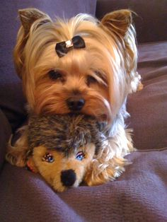 Exceptional yorky info is readily available on our internet site. Take a look and you wont be sorry you did. Yorshire Terrier, Boston Terrier, Bull Terriers, Yorkies, Yorkie Puppy, Cute Puppies, Cute Dogs, Dogs And Puppies, Corgi Puppies