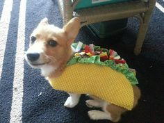YES. My Corgi would look too cute in this <3