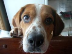 George is an adoptable Basset Hound Dog in Hazel Park, MI. My name is George.  I'm a Bassett mix, about 1 year old and I'm as handsome as can be. I'm mild mannered and get along with all my foster bro...
