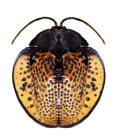 Discomorpha nigropunctata