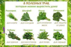 Посадите этих народных лекарей на окошке!  Они верой и правдой послужат вашему здоровью, да и подоконник украсят своей симпатичной зелёной персоной.