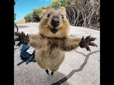 Quokkas are the Happiest Animals in the World