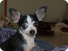 Apache Junction, AZ - Chihuahua. Meet Stinky, a dog for adoption. http://www.adoptapet.com/pet/14321901-apache-junction-arizona-chihuahua