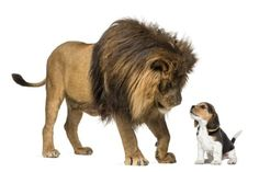 Lion standing and looking at a beagle puppy against white background Spanish Help, Learn Spanish Online, Learning Spanish, Beagle Puppy, Chihuahua Dogs, Puppies, Parakeet Bird, Beard Colour, Bearded Dragon