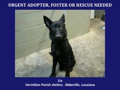 ***SUPER URGENT!!!*** - PLEASE SAVE ME!! - EU DATE: 7/23/2014 -- lia  Breed: German Shepherd  Age: Young adult Gender: Female  Size: Large,  - animalaidvermilion@gmail.com or (337) 366-0212 or visit our website animalaidvermilionarea.com for more information