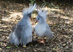 The Kagu (Rhynochetos jubatus) is an endangered, flightless bird occurring in the forests of New Caledonia. Pretty Birds, Love Birds, Beautiful Birds, Birds 2, Beautiful Pictures, Flightless Bird, Bird Wallpaper, Mundo Animal, Bird Species