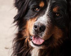 Harry _  Berner Sennenhund