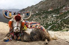 (Tibetan yak.- p.mc.n.) 1996 by T. Kelly- Aurora Photos