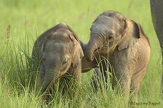Indische Olifant / Indian elephant