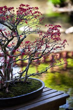 Maple Bonsai, Japanese garden in Parc Albert Kahn, Paris. I don't need another reason to go to Paris, but it's nice to have one as beautiful as a bonsai garden.