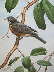 Robin on Salt Spring Island by Wilf Warkentin in the FASO Daily Art Show