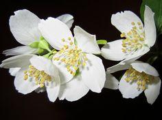 Las colonias online a base de flores blancas. La primavera ya está aquí. Parecía que nunca iba a llegar pero por fin se puede decir que apetece comprar colonias online frescas y florales, que recuerden a las flores más tiernas y suaves, como son las flores blancas.