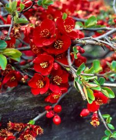 Japanese Quince 'Red Trail', bringing sweet scented quince fruit in the autumn. Japanese quince makes great ground cover, it will not take over and is a slow grower. Quince smells great in the linen cupboard too.