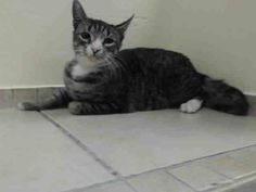 TO BE DESTROYED 12/18/13 Brooklyn Center  My name is MITTENS. My Animal ID # is A0987381. I am a female brn tabby and white domestic sh mix. The shelter thinks I am about 1 YEAR https://www.facebook.com/photo.php?fbid=716980518313783&set=a.576546742357162.1073741827.155925874419253&type=3&theater