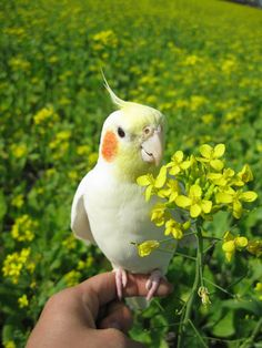 this picture radiates joy who did this im gonna cry tears of happiness Cute Baby Animals, Animals And Pets, Funny Animals, Cockatiel, Budgies, Parrots, Funny Birds, Cute Birds, Beautiful Birds