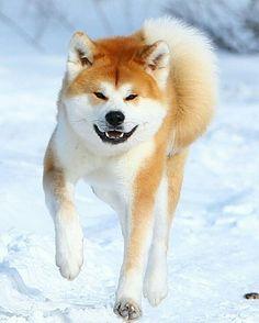 akita inu snow