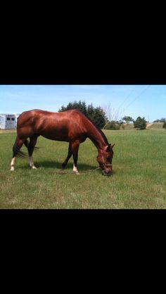 AQHA gelding- slip down and ride, cutting horse