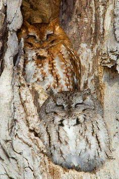 You can hardly spot the owl. Check out the picture under the owl. It actually looks like the picture of an owl. Surprise, it is an actual owl that is camouflaged right in the tree. Beautiful Owl, Animals Beautiful, Owl Bird, Pet Birds, Animals And Pets, Cute Animals, Wild Animals, Baby Animals, Screech Owl