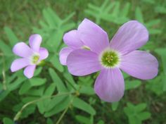 Purple Wood Sorrel, a lovely little groundcover