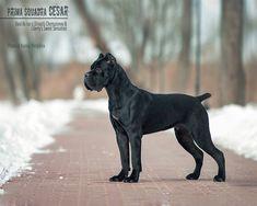 Cane Corso Italian Mastiff, Cane Corso Mastiff, Cane Corso Dog, Cute Dogs Breeds, Large Dog Breeds, Italian Dogs, Mastiff Breeds, Presa Canario, Giant Dogs