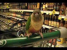 Conure Goes to The Grocery Store! - YouTube