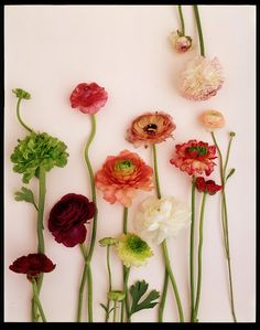 Ranunculus. One of my favourites.