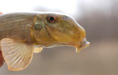 The Northern Hogsucker is found in clear, fast streams in the Great Lakes, Hudson Bay and Mississippi River basins. It uses its long snout to dig around in the sediments, turning over rocks in search of small aquatic insects or snails. Once it finds something it will – quite literally – suck it up. It's basically the vacuum cleaner of the freshwater world. They can grow to up to 2 ft in length and live for up to 11 years.