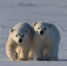 Let's take a walk Pictures Of Polar Bears, Bear Photos, Artic Animals, Cute Animals, Baby Animals, Wild Photography, Animal Photography, Baby Polar Bears, Teddy Bears