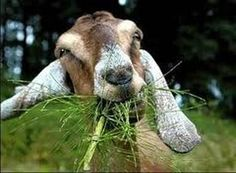 Rent a Goat :: Hire a herd to clear your land! This is an eco-friendly, green and sustainable approach to ridding property of unwanted vegetation. www.Rentaruminant.com