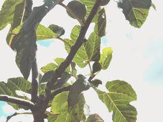 Alentejo Blues: Fui aos figos