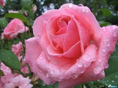 Drops On Pink Roses - Flowers Wallpaper ID 1781700 - Desktop Nexus Nature Beautiful Pink Roses, Love Rose, Amazing Flowers, Pretty In Pink, Pink Flowers, Beautiful Flowers, Romantic Roses, My Flower, Flower Power