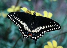 Eastern Black Swallowtail - mimics the poisonous Pipevine Swallowtail. Also frequently confused with the dark version of the female Tiger Swallowtail.