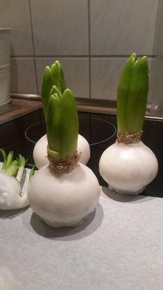 Frühblüher in Wachs Der ein oder andere hat sicher im Winter schon die Amaryllis in Wachs erspäht. Die Idee: Kein gießen Schwierigkeit: leicht