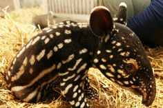 What do you guys think about baby tapirs?