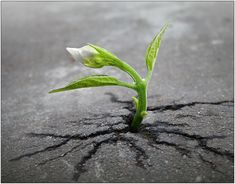 Life is the only thing in this universe that fights to grow, to thrive and to survive. That is the beauty and secret of life, the movement and growth against all odds.--photos of plants thriving Asphalt Pavement, Road Pavement, Nova Era, Plantar, Growing Tree, Growing Plants, Growing Seeds, Flowering Trees, Weed