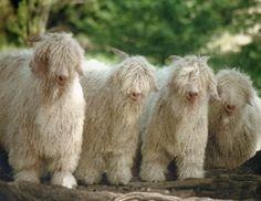 Angora goats -- beautiful!
