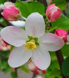 Schemă de tratament de la A la Z pentru livezile de măr Plants, Planters, Plant, Planting
