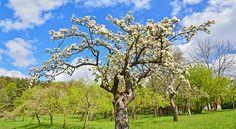 Streuobstwiesen mit alten Obstbäumen bereichern die traditionelle österreichische Landschaft.