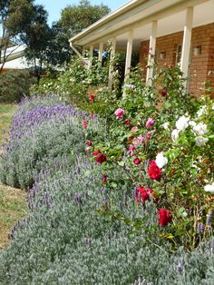Our late summer rose garden. Roses are so giving, scent and beautiful colour blooms. The lavenders also add a wonderful scent if brushed. The bees love this garden.