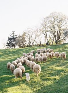 Sheep in the country | Photography by Jose Villa Workshops / josevillaworkshops.com