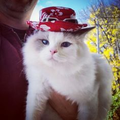 #SundayFunday with Pierre. You know it's a good day when he has his party hat on. #crazycatguy #ragdoll #ragdollcat #catsofpinterest #cats #pets #petsofpinterest