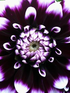 Dahlia by the walking disaster, via Flickr