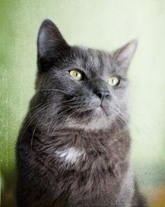 Cat Pose  Fine Art Animal Photograph  soft gray cat by janeheller, $35.00