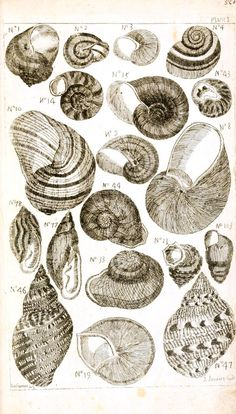 black and white sea shell pictures | Animal – Sea Shells – Black and white – 1 | Vintage Printable