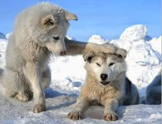 See more White wolves http://cuteanimalworld.blogspot.com/  You are my brother or sister. whichever, you and me are buddies.....