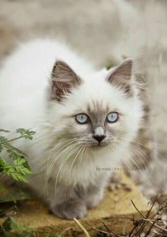 """Cat Quotes: """"Human beings are drawn to cats because they are all we are not — self-contained, elegant in everything they do, relaxed, assured, glad of. Cute Kittens, Siamese Kittens, Cute Cats And Kittens, Cool Cats, Ragdoll Cats, Pretty Cats, Beautiful Cats, Animals Beautiful, Pretty Kitty"""