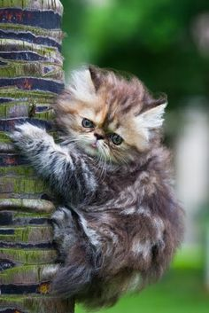 CAT SNIP: Sometimes cats climb a tree and can't get down. Why? Their claws curve inward, allowing them to grip surfaces while going up head first, but that doesn't help them get down. Eventually, most felines will either jump or realize they can slide down slowly, tail first. A cat up a tree is usually nothing to worry about unless he's injured.